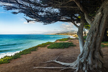 A Monterey Cypress Tree Overlooks The Pacific Ocean On California's Central Coast