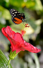 Tiger Longwing Butterfly (Heliconius Hecale) Feeding On Red Hibiscus Flower And Seen From Profile