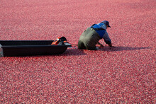 Cranberry Field Worker Doing Harvesting Work