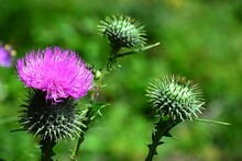 Pink Flower And Spiky Flower B...