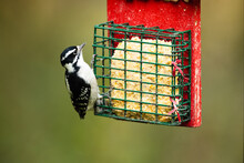 An Alert Downy Woodpecker Feed...