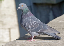 Portrait Of A Beautiful Pigeon