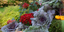 Colorful Ornamental Kales Are The Focal Point Of This Fall Garden Scape In A Midwest Garden Featuring Hakone Japanese Forest Grass, Red Mums And Hydrangeas In The Background