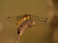 Black-tailed Skimmer - Female ...
