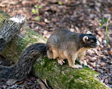 Sherman Fox Squirrel Stock Photo. Sherman Fox Squirrel Sitting On A Log And Enjoying Its Habitat And Environment With Blur Background Displaying Bushy Tail, Body, Head.  Image. Picture. Portrait.