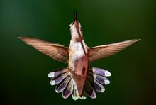 Hummingbird In Flight During Then Summer In Michigan's Upper Peninsula.