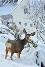 Mule Deer In The Snow In The Neighborhood Looking At The Camera. Utah, USA