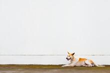 A Basenji Dog Sitting With A W...