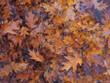 canvas print picture Fallen Oak  Leaves on Water