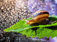 Brown Snail On A Green Leaf Against A Background Of Shiny Bright Bokeh. A Closeup Of A Brown Snail Crawling Over A Green Leaf. Brown Snail On A Background Of Shiny Drops