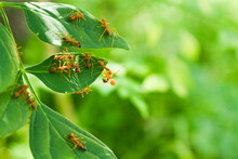 Nesting Ants On The Green Leaf