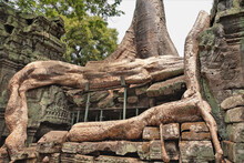 The Gigantic Roots Of An Old Tree Are Entwined With The Ruins Of An Ancient Temple. The Trunk Goes Into The Sky. The Roots Are Supported By Special Supports. Cambodia. Angkor Thom. UNESCO.
