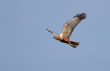 Marsh Harrier Flying