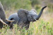 canvas print picture - Baby elephant with raised trunk in Kruger Park in South Africa