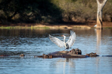 Grey Heron With Wings Open Standing On Hippo's Back In Kruger Park In South Africa