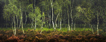 Birch Trees On Strensall Common