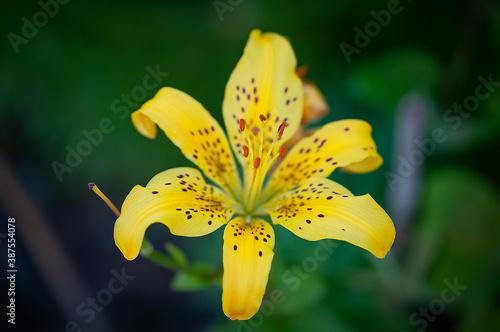 Fototapeta żółty kwiat na zielonym tle obraz