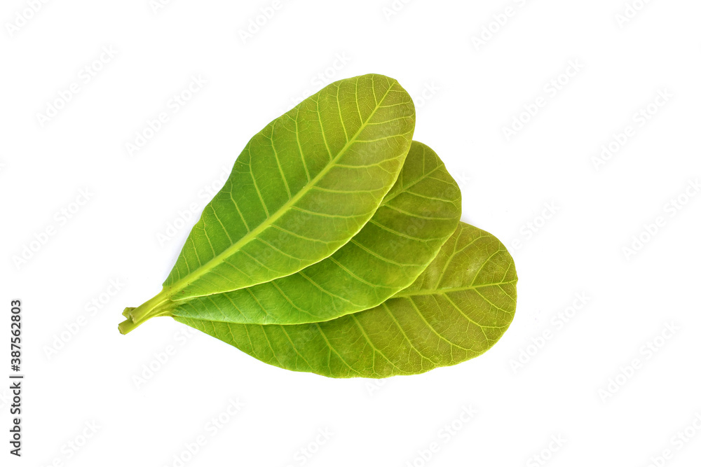 Fototapeta Cashew Nut leaves isolated on white background. Clipping path