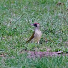 European Green Woodpecker Stan...