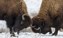 Huge Buffalo Pair Butting On Snow. Battle Of Two American Bison.