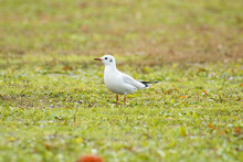 Black-Headed Gull Standing In ...