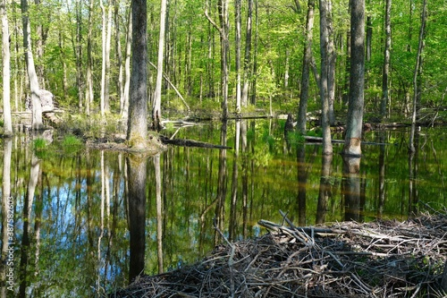 Cuadros en Lienzo View of a beaver habitat with dams, ponds and trees at the Plainsboro Preserve i