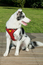 Pet; Beautiful White Australian Shepherd Dog With Black Spots.