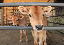 Two Identical Jersey Calves In Enclosed Pen