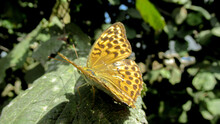 A Close Up Of A Beautiful Yellow Butterfly With Black Dots Standing On The Green Leaf
