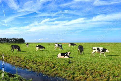 Dutch meadow beautiful country panoramic landscape with traditional water canals. Pastures of green juicy grass. Dutch breed cows grazing. Netherlands