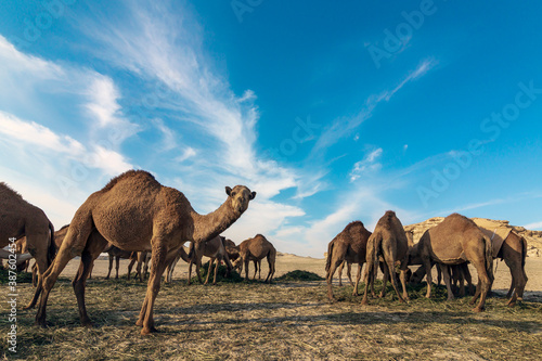 Fotografia Landscape with group of camels in Al-Sarar desert, SAUDI ARABIA.