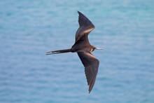 Flying Over The Frigate Bird