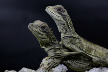 Two Baby Sail Fin Dragons (Hydrosaurus Sp) Are Sunbathing On Dry Wood.