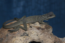 A Baby Sail Fin Dragons (Hydrosaurus Sp) Are Sunbathing On Dry Wood.