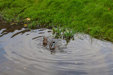 Two Ducks Under Water, Butts S...