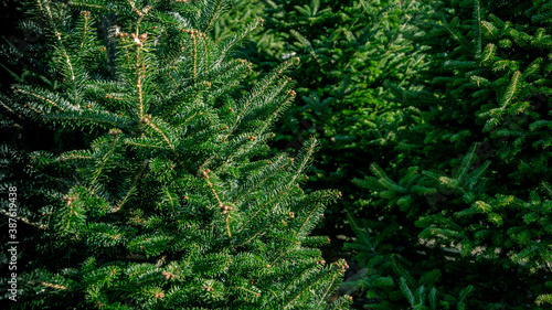 Fotografering Closeup of various evergreen fir and pine tree for sale in holiday tree lot