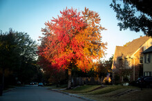 Brilliantly Colored Autum Tree Just As The Early Morning Light Hits It In American Residential Neighborhood With USA Flag Flying On House