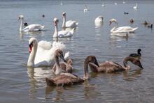 Little Swan Chicks Swim Next ...