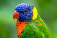The Rainbow Lorikeet Or Trichoglossus Moluccanus