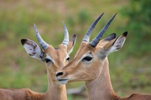 Pair Of African Impalas Male A...