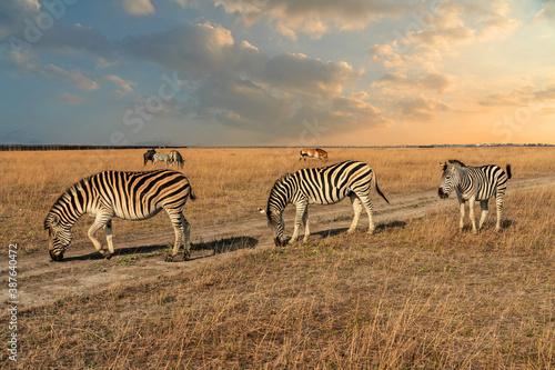 Fototapety, obrazy: Zebra animals in Askaniya-Nova, Kherson, Ukraine