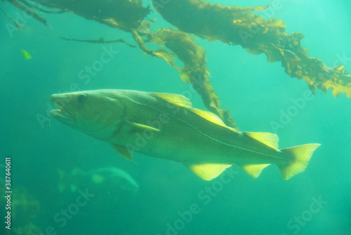 Cod fish under water and seaweed plant, Norway Canvas Print