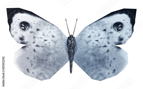 Obraz na plátně White butterfly, called Cabbage Butterfly or Cabbage White - Pieris brassicae, open wings, isolated on white background