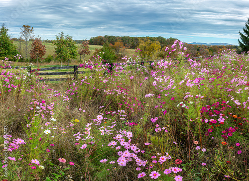 Field of cosmos and other flowers in central Virginia in autumn. Wallpaper Mural