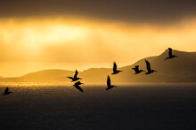 The Silhouette Of Wild Pelican...