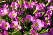 Spring Pink Primroses Flowers,...