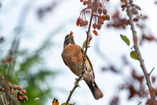 One American Robin Standing On...