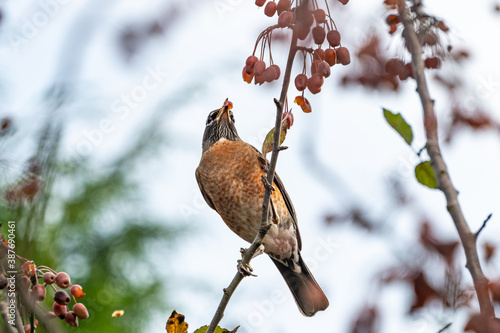 Stampa su Tela one American robin standing on thin branch with a tiny red berry in its beak