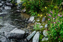 Vast Variety Of Herbs And Flowers Near Spring Water Among Stones. Mountain Clear Water Stream Near Motley Grass. Rich Vegetation Of Highlands. Small River Among Rich Flora. Beauty Of Alpine Nature.