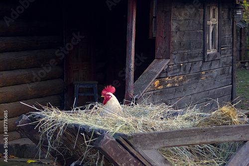 Tableau sur Toile a rooster looks out of a hay trough